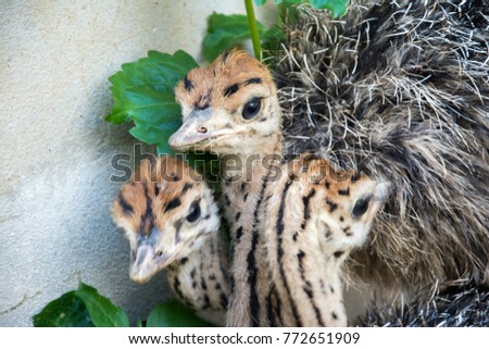 Ostrich offspring are larger than any other bird baby. #772651909