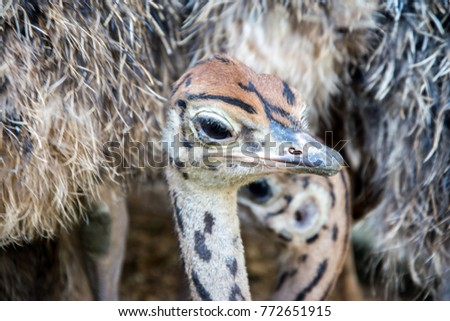Ostrich offspring are larger than any other bird baby. #772651915