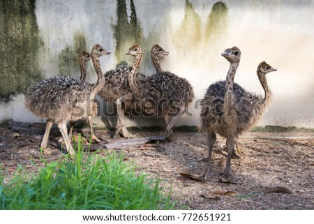 Ostrich offspring are larger than any other bird baby. #772651921