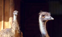 ostrich on a black background copy space. Ostrich head. Wild birds in zoo. closeup head of ostrich. background ostrich