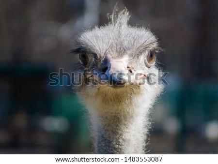 Ostrich on an ostrich farm posing on a camera #1483553087