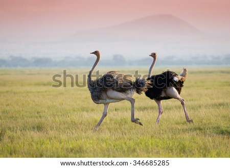 Ostrich on the african savannah #346685285