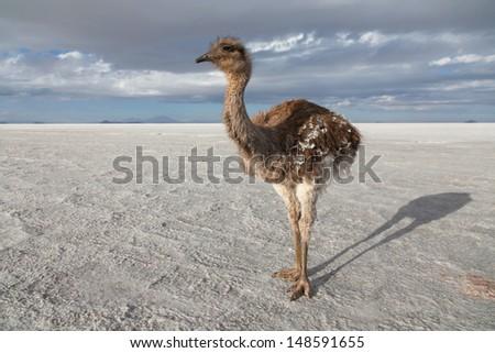 Ostrich on the salt lake of Uyuni, Bolivia