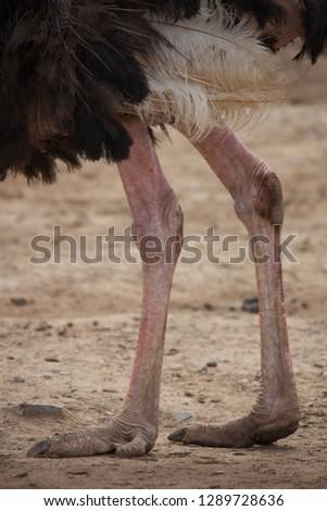Ostrich, ostrich leg #1289728636