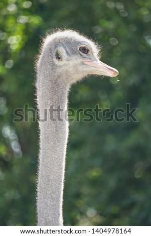 ostrich, ostrich portrait, ostrich head green background #1404978164