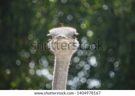 ostrich, ostrich portrait, ostrich head green background #1404978167