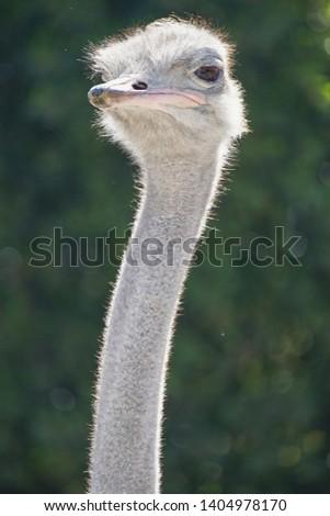 ostrich, ostrich portrait, ostrich head green background #1404978170