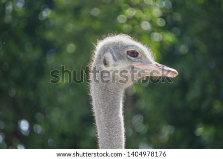 ostrich, ostrich portrait, ostrich head green background #1404978176