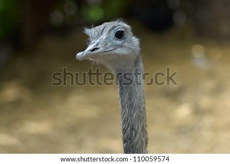 Ostrich Portrait - struthio camelus