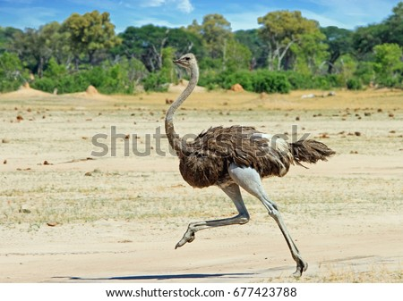 Shutterstock Ostrich running across the Hwange Plains in Zimbabwe, Southern Africa