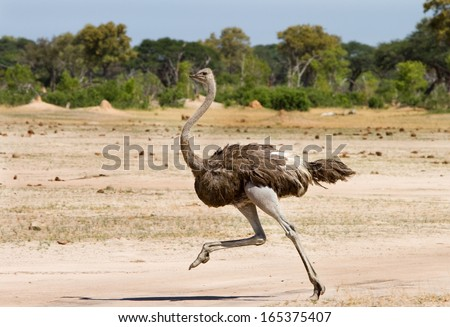 Shutterstock Ostrich Running across the Plains in Hwange - Zimbabwe