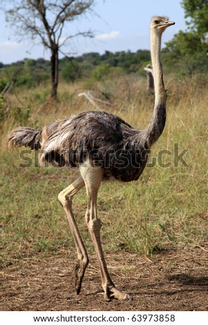 Ostrich - Uganda - The Pearl of Africa - stock photo