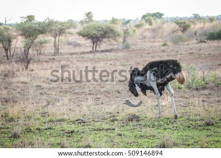 Ostrich walking in the bush in the Kruger National Park, South Africa. #509146894