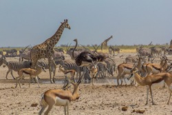 Ostrich walking past a huge crowd of animals in Ozonjuitji m'Bari, a waterhole in Etosha National Park, Namibia.