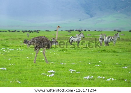 Ostrich walks the Ngorongoro crater among zebras and migrating wildebeests