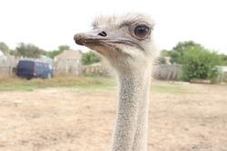 ostrich with big eyes on an ostrich farm