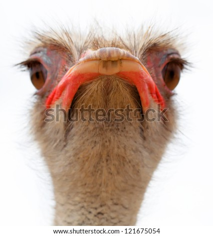 ostrich young with a long neck watching intently large beautiful eyes with bright, strong beak and gray feathers on a white background