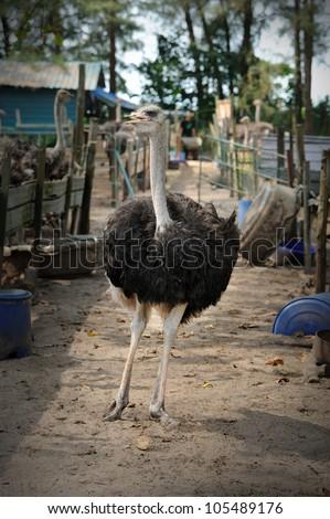 Ostriches farm in Malaysia