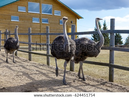 Shutterstock Ostriches in the paddock of the farm. Ostriches on the farm.