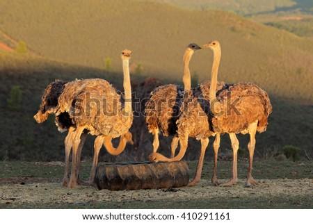 Ostriches on an ostrich farm, Karoo region, Western Cape, South Africa