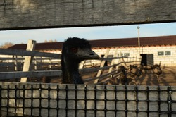 Ostriches on an ostrich farm. Photo of ostriches behind the fence. Ostrich farm