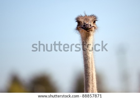 Ostriches on German bird farm in Autumn
