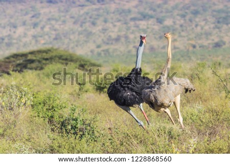 Ostriches On Speed Track /  Stok fotoğraf ©