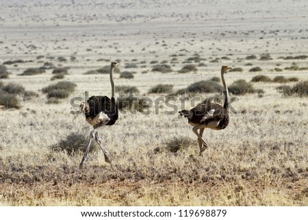 Ostriches running in the steppe of Namibia