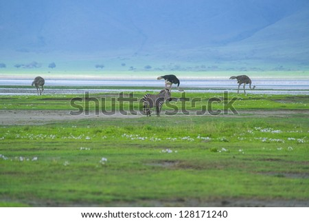 Ostriches search for food in Ngorongoro crater