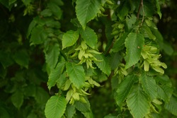 Ostrya carpinifolia, the European hop-hornbeam, is a tree in the family Betulaceae. Seeds from Carpinus betulus, the European or common hornbeam.