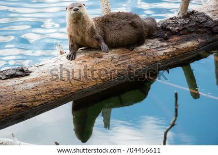 otter #704456611