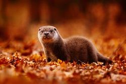 Otter, autumn orange wildlife. Eurasian otter, Lutra lutra, detail portrait of water animal in nature habitat, Slovakia, water predator. Animal from river, wildlife from Europe.