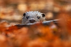 Otter, autumn orange wildlife. Eurasian otter, Lutra lutra, detail portrait of water animal in the nature habitat, Germany, water predator. Animal from river, wildlife from Europe.