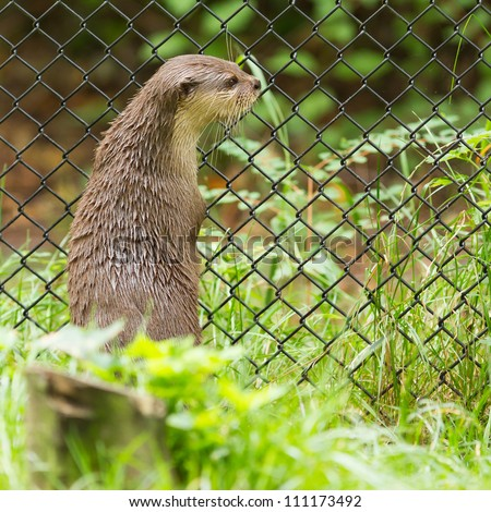 Otter in captivity is looking through the fence of it\'s cage (Holland)