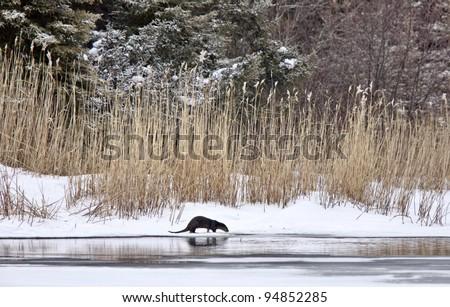 Otter in Winter Saskatchewan Canada Prince Albert National Park