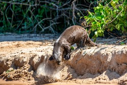Otter on the sand on the bank of the river. South America. Brazil. Pantanal National Park.