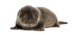 Otter pup lying down, eyes closed, 4 weeks old, isolated on white