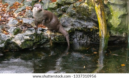 Otter sits on his hind legs on a stone, with a branch in the right part of the picture and a lot of free space, animal
