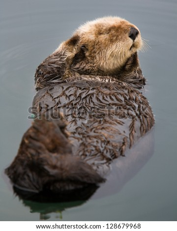 Otter with personality posing in Morro Bay Harbor, California