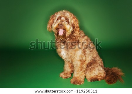 Otterhound sitting with tongue out over green background
