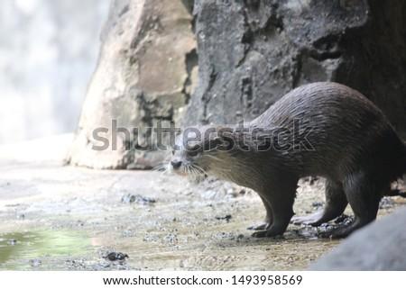 Otters are carnivorous mammals belonging to the Lutrinae subfamily. semi-aquatic, aquatic, or marine animals, and they eat fish #1493958569