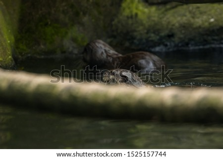 Otters are carnivorous mammals in the subfamily Lutrinae