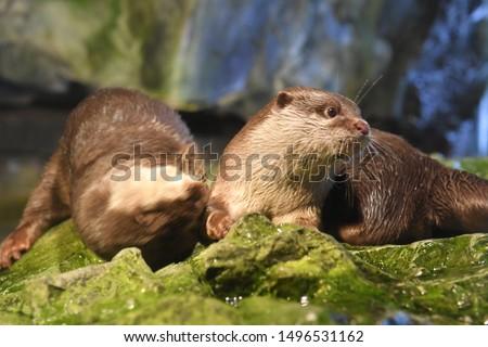 Otters in Osaka Aquarium Kaiyukan,  Osaka, Japan