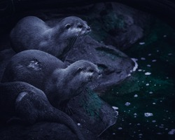 Otters sitting on a stone by a river. Dark, moody picture.