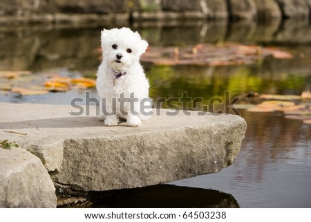 Bulldog Maltese Mix