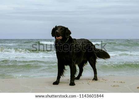 Our Flat Coated Retriever back in 2015 #1143601844