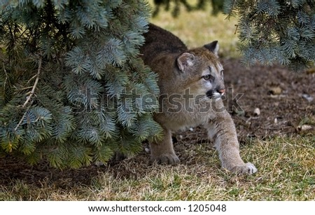 Out From Under tree - Cougar (Felis Concolor)