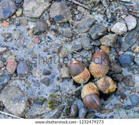 Outdoor close up view of oak acorns mixed with gravels on the floor. Pattern of different brown and grey elements and small natural things. Many  white and grey stones with four brown nuts in cross  #1232479273