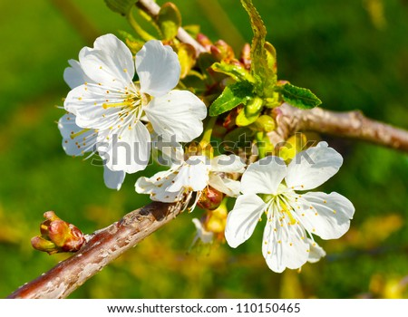 stock-photo-outdoor-closeup-of-white-cherry-blossom-flowers-in-spring-season-sunny-afternoon-110150465.jpg