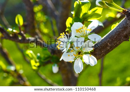 stock-photo-outdoor-closeup-of-white-cherry-blossom-flowers-in-spring-season-sunny-afternoon-110150468.jpg
